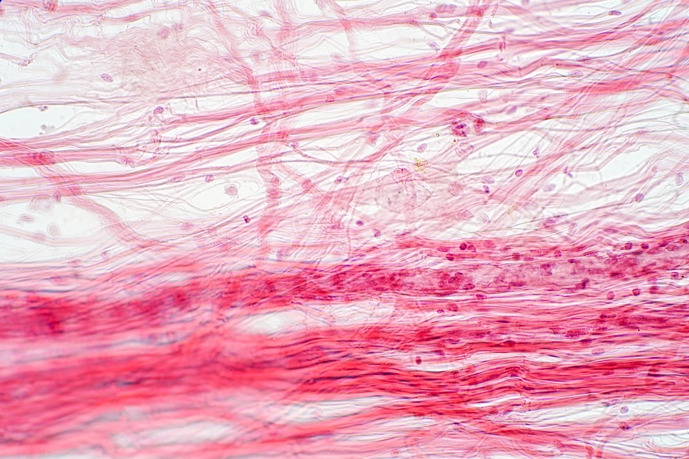 Areolar connective tissue under the microscope view. Histological for human physiology.